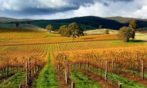 autumn-vineyard