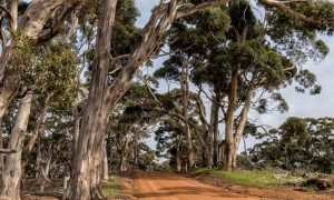 dirt-road-trees