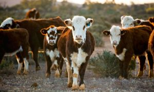 beef-cattle-nsw-2