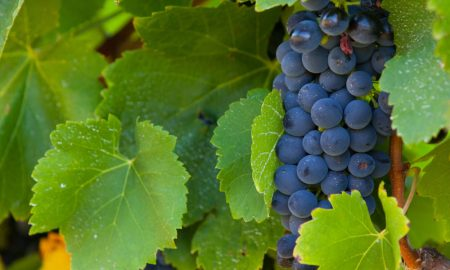 grapes-winery-Yarra-Valley-