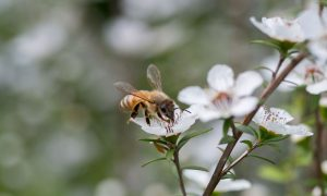 honey-bee-manuka-flower-(2)