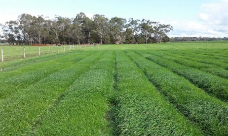 Annual-Ryegrass