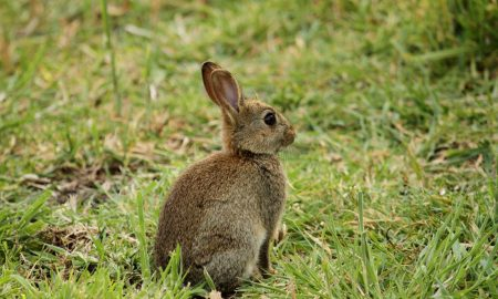 wild-rabbit-aus