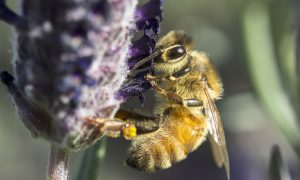 bee on lavendar stock image