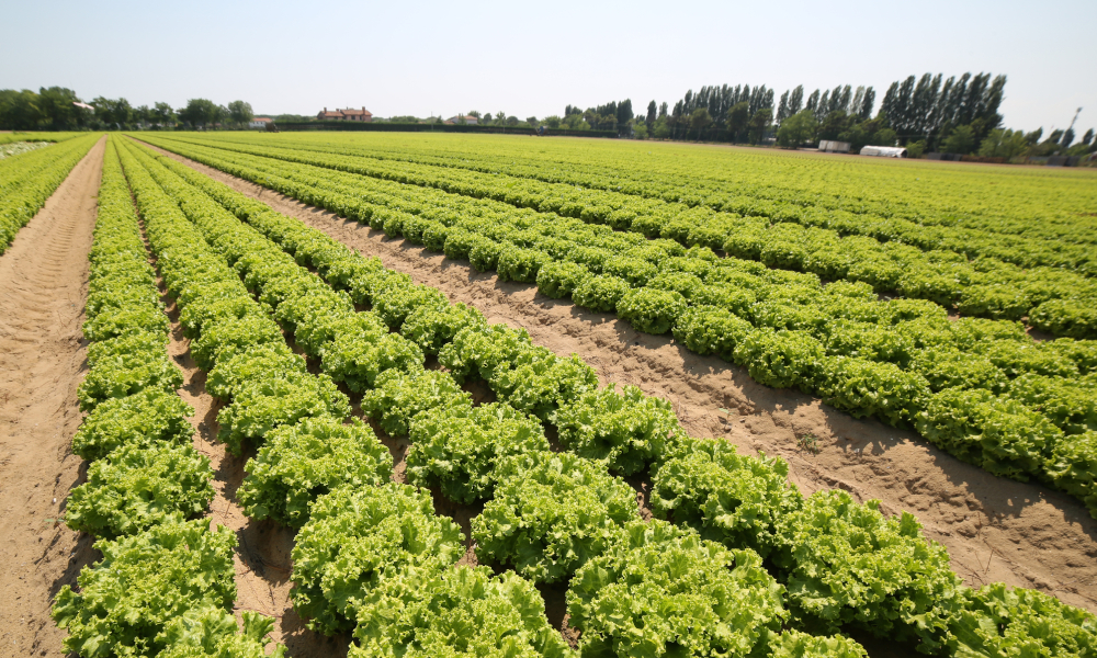 lettuce field farm stock
