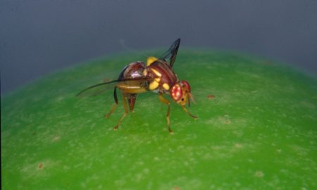 Adult Queensland fruit fly on apple. Image acknowledgement: G.T. O'Loughlin, www.Bugwood.org
