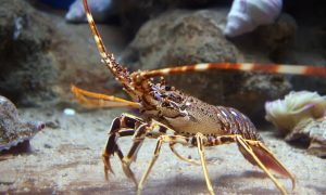 rock lobster stock image