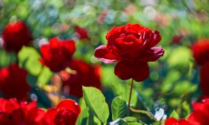 rose garden stock image