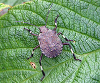 Adult brown marmorated stink bugs have characteristic white markings on their antennae, legs and around the edge of their body.