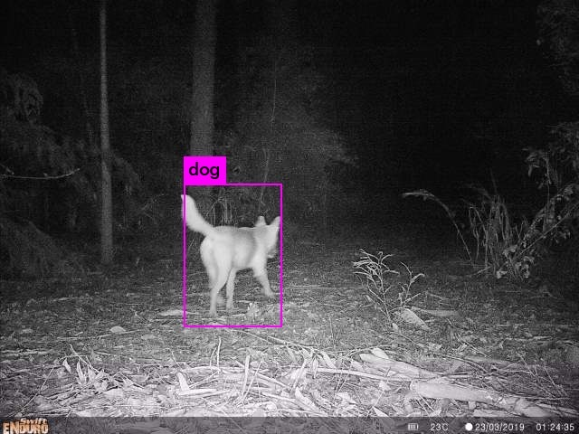 Another wild dog is detected via the camera trap and the research team is notified, this time during the very early hours of Saturday morning (March 23rd) when it is still pitch black outside (image supplied by Paul Meek, NSW DPI).