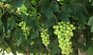 Ti Tree draft WAP _ grapes photo _ Stuart Smith DPIR