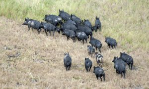 feral pigs stock image