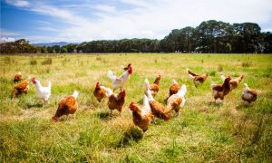 contract poultry farmers