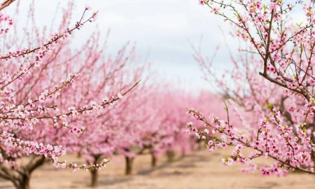 Self-fertilising almond trees